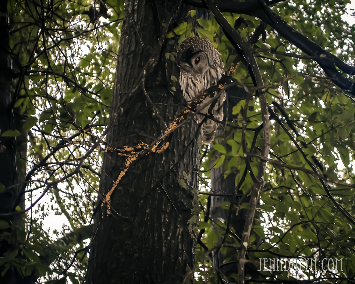 ohio owl in a tree