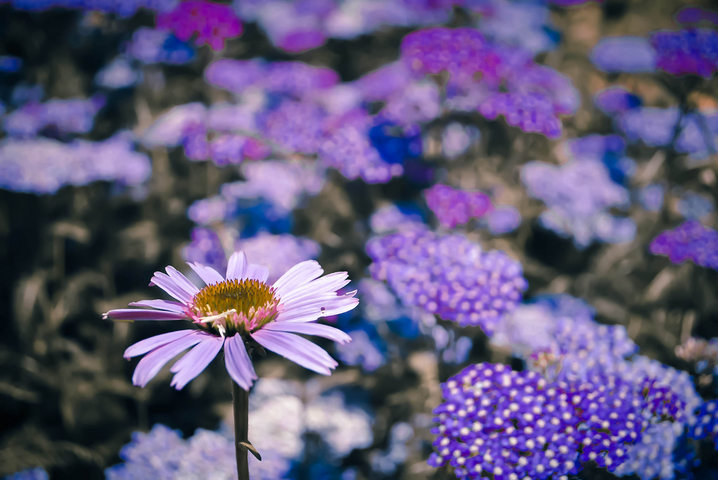 purple flowers violet daisies