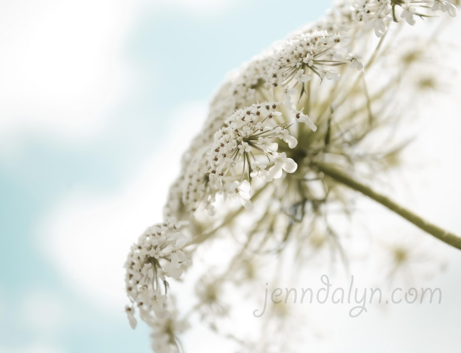 queen anne's lace close up
