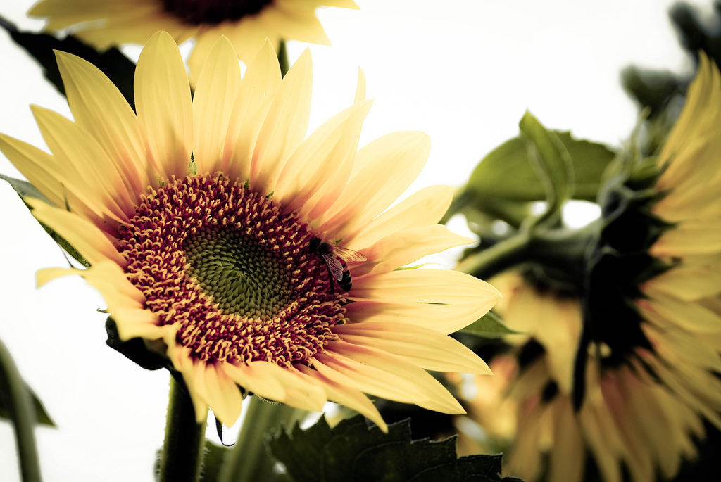 sunflower photo
